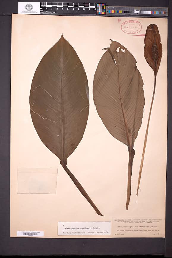 Spathiphyllum wendlandii image
