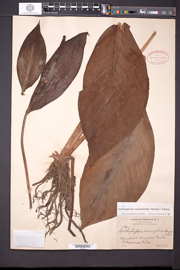 Image of Spathiphyllum cannifolium