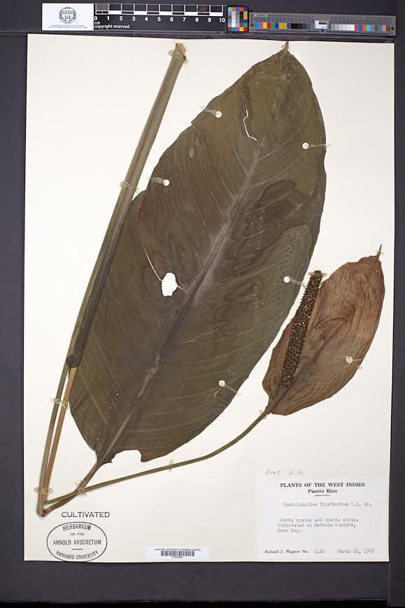 Image of Spathiphyllum floribundum
