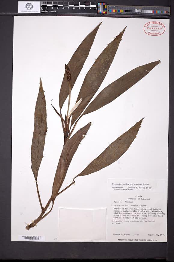 Stenospermation spruceanum image