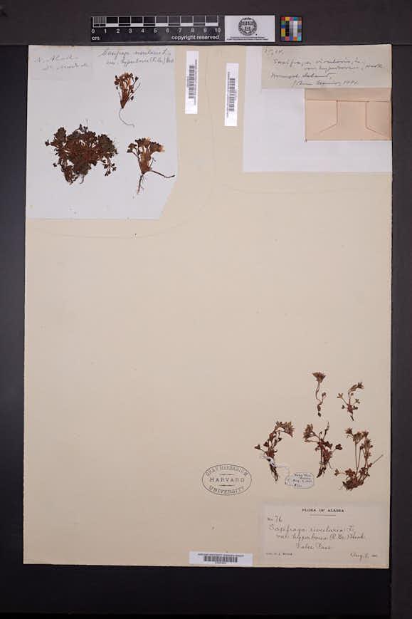 Saxifraga hyperborea image