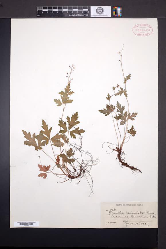 Tiarella trifoliata image