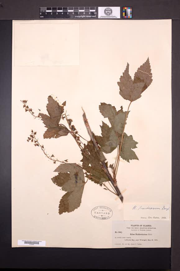 Ribes bracteosum image