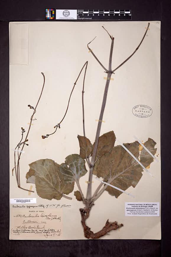 Anulocaulis leiosolenus image
