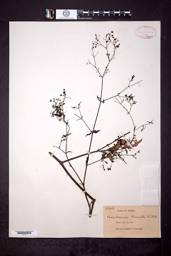 Boerhavia hirsuta image