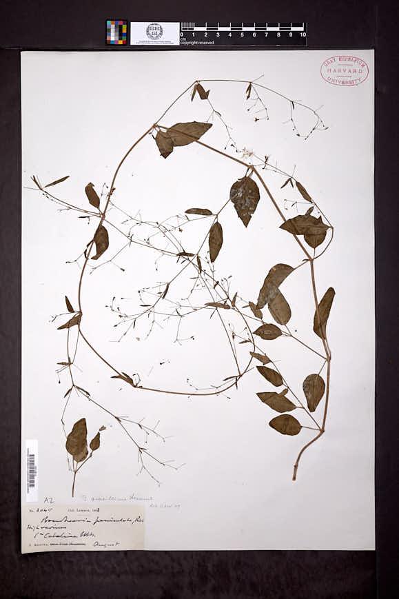 Boerhavia gracillima image