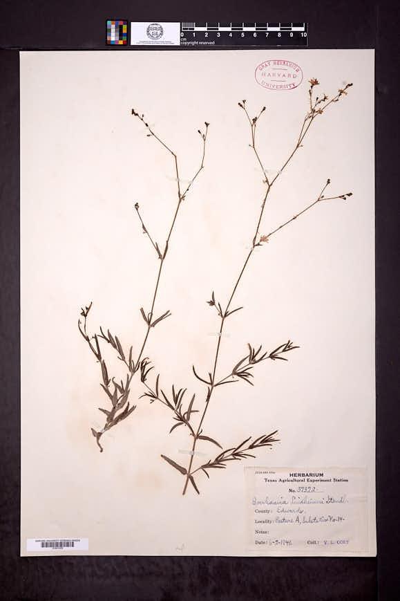 Boerhavia linearifolia image