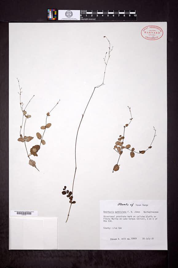 Image of Boerhavia mathisiana