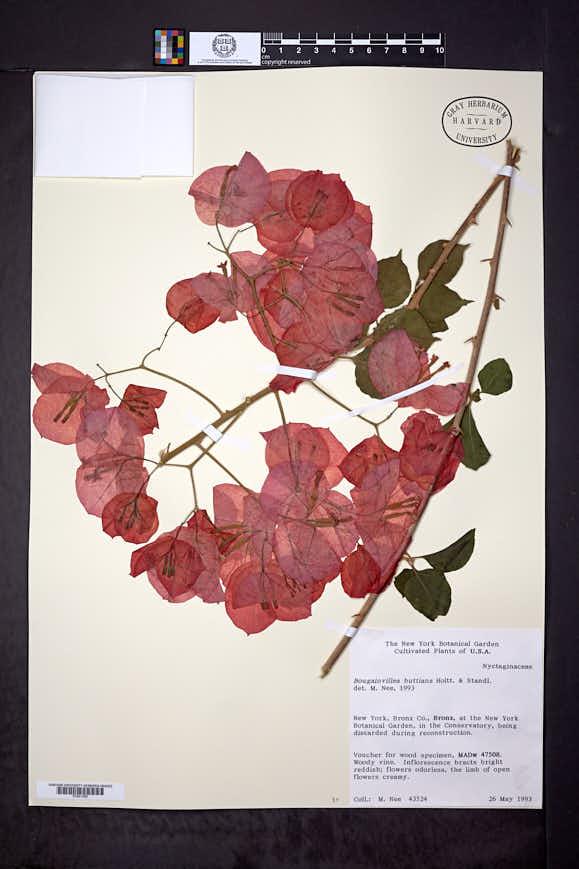 Bougainvillea buttiana image
