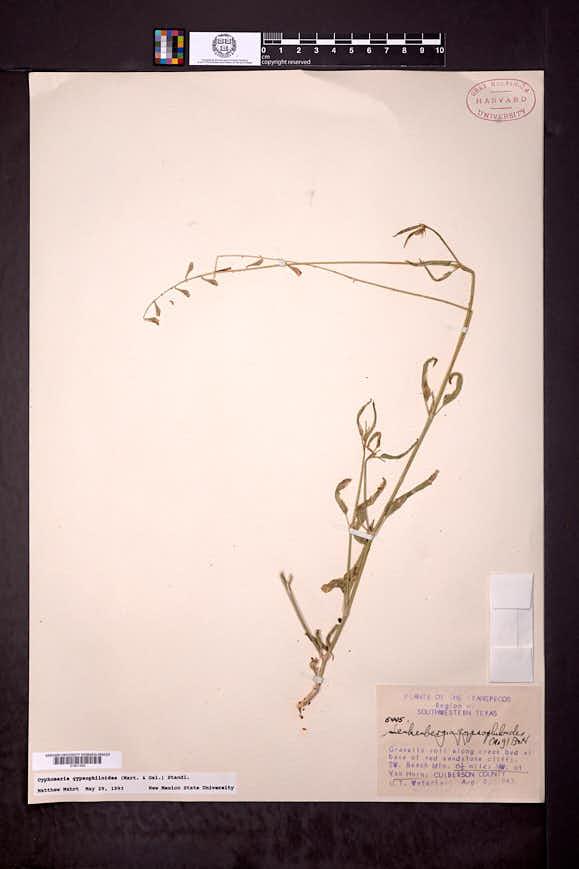 Cyphomeris gypsophiloides image