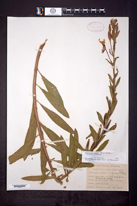 Oenothera wolfii image