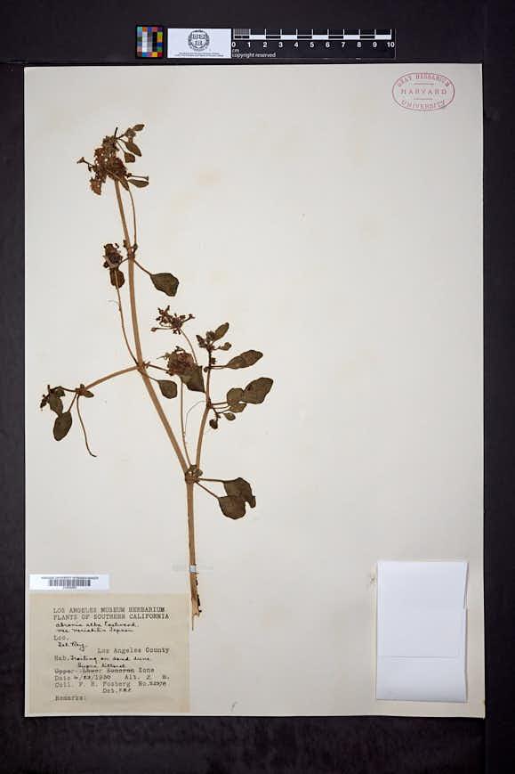 Abronia alba image