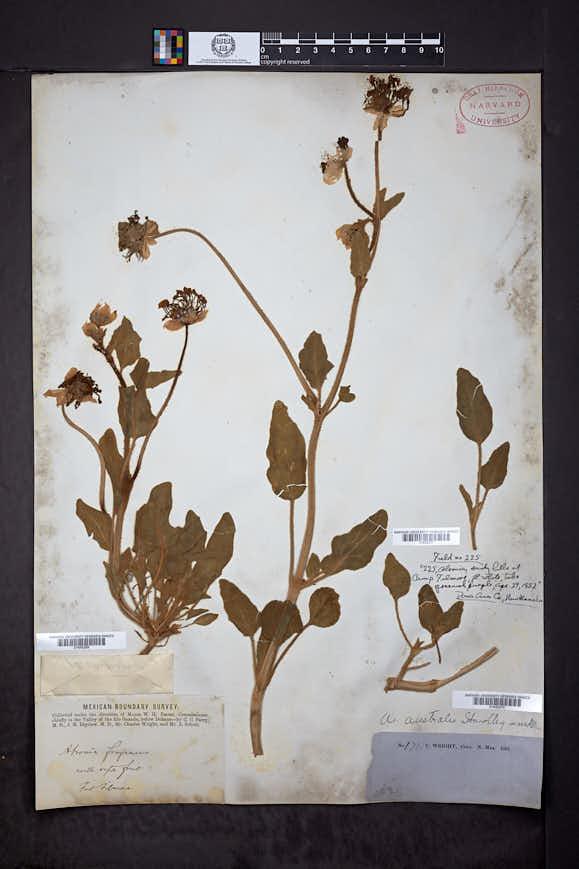 Abronia ammophila image