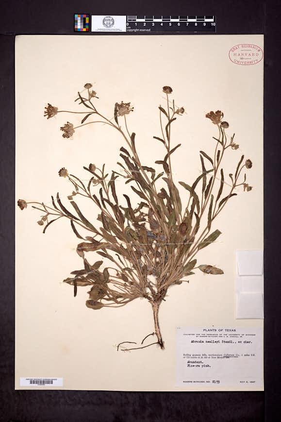 Abronia carletonii image
