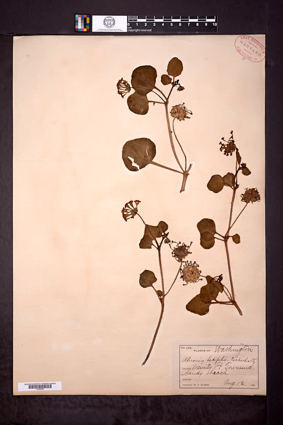 Abronia latifolia image