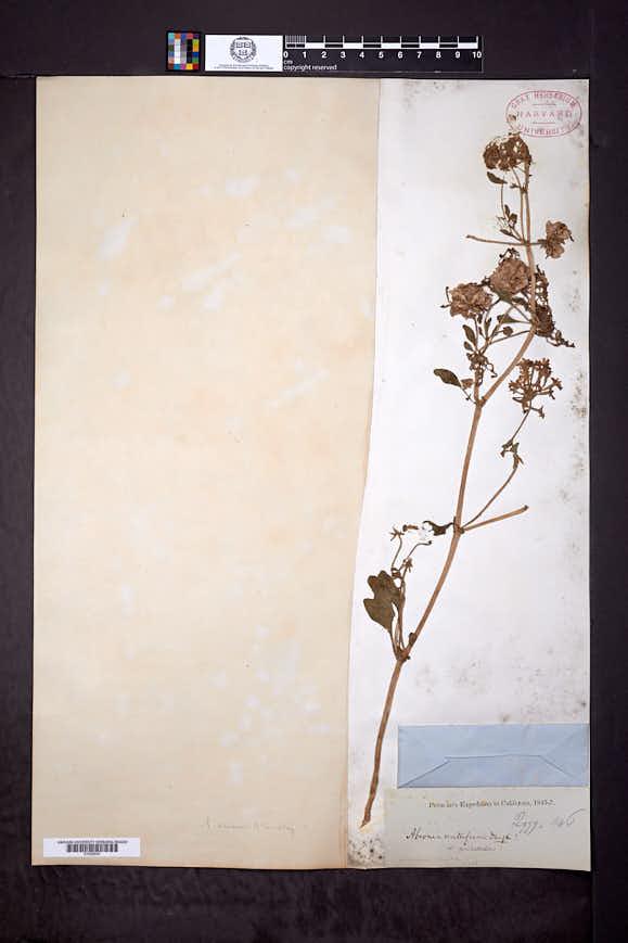 Image of Abronia minor