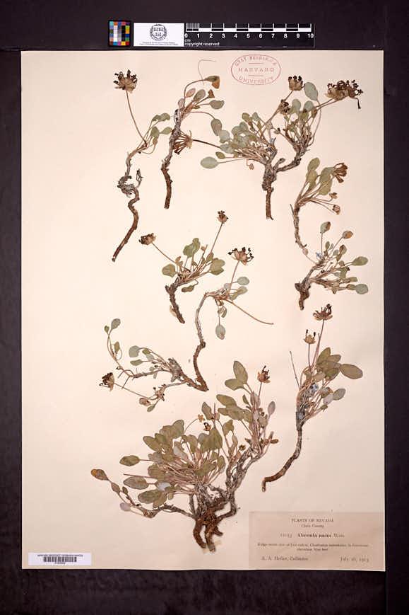 Abronia nana image