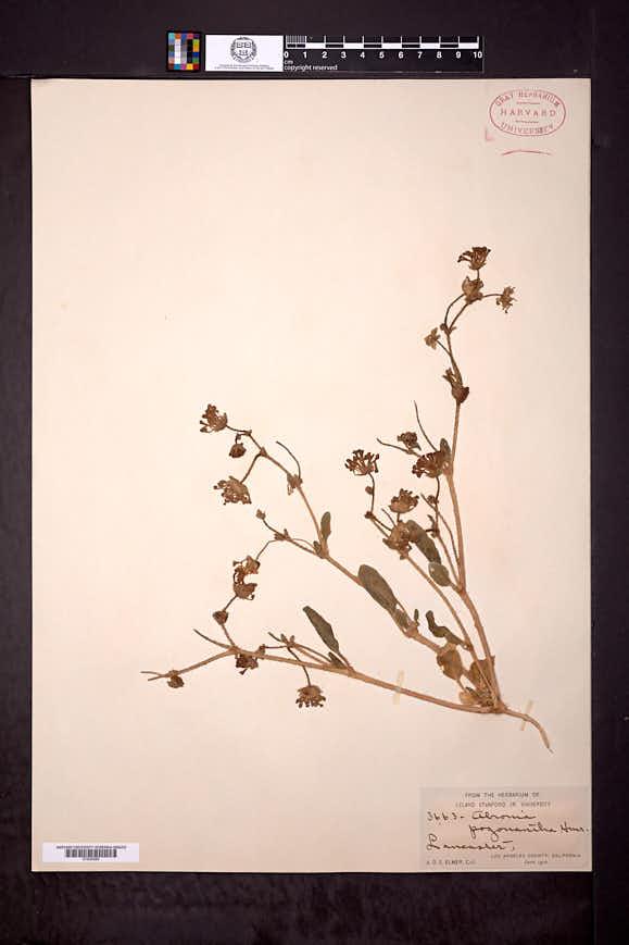 Abronia pogonantha image