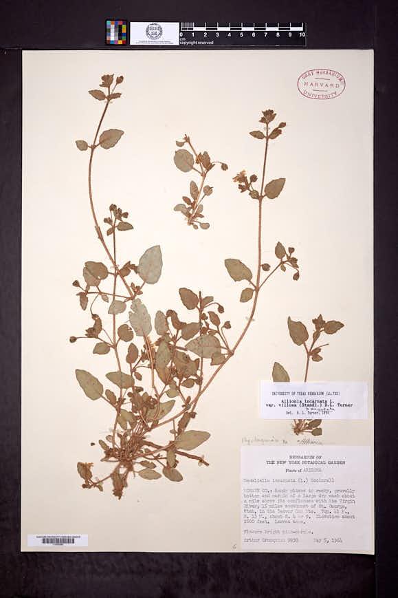 Allionia incarnata var. villosa image