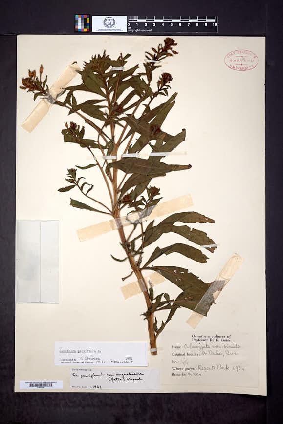 Oenothera parviflora image