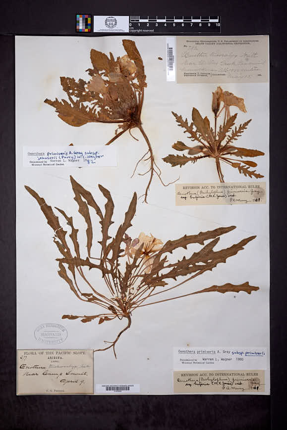 Oenothera primiveris subsp. primiveris image