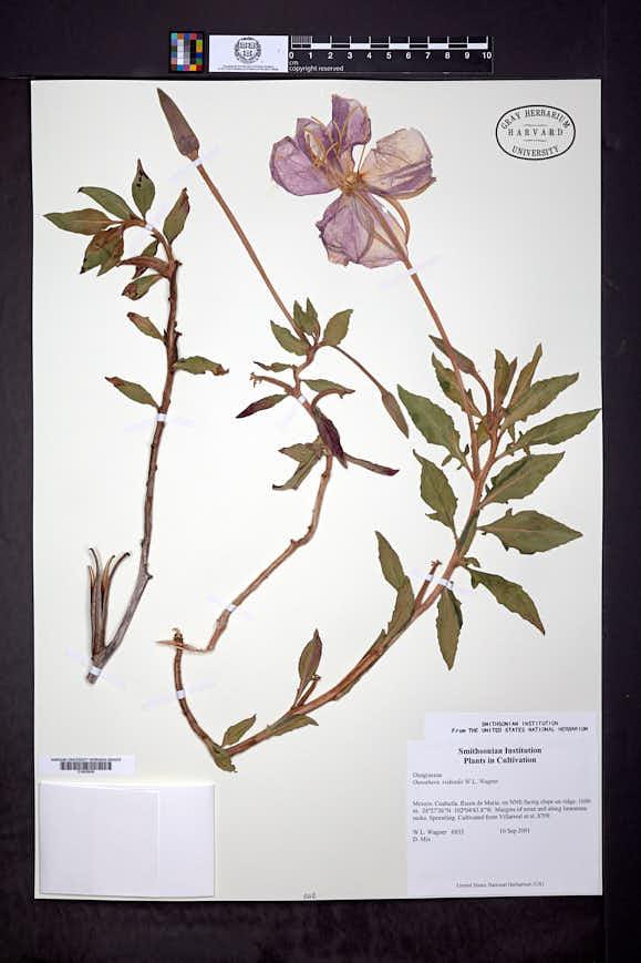 Image of Oenothera riskindii