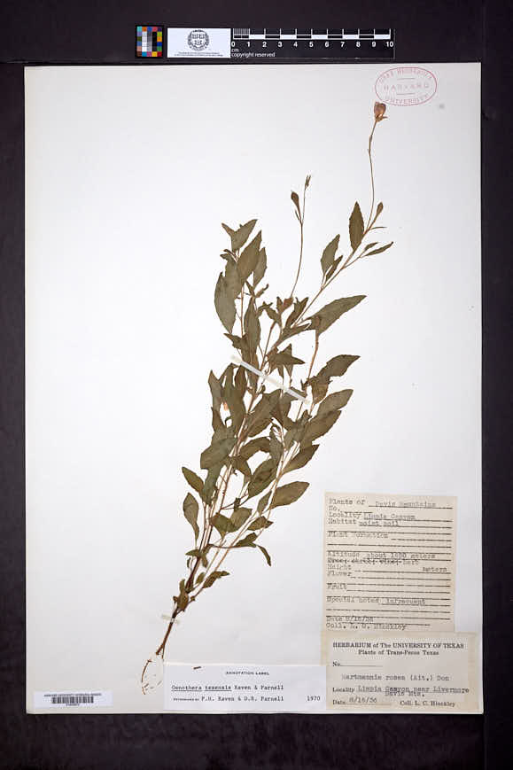 Image of Oenothera texensis