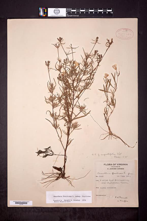 Oenothera fruticosa image