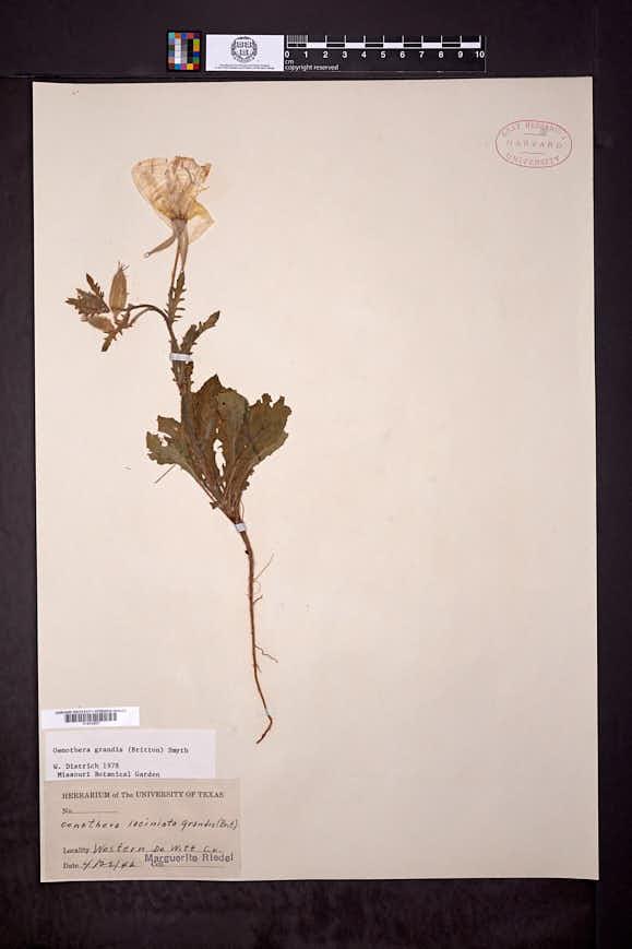 Oenothera grandis image