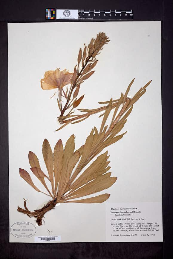Oenothera hookeri image