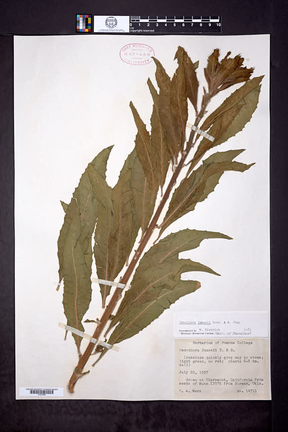 Oenothera jamesii image