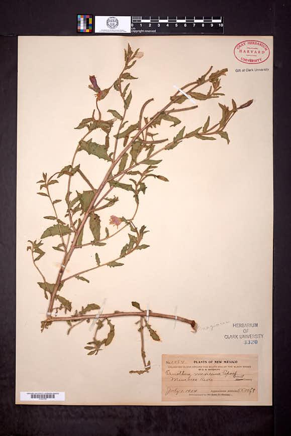 Oenothera mexicana image