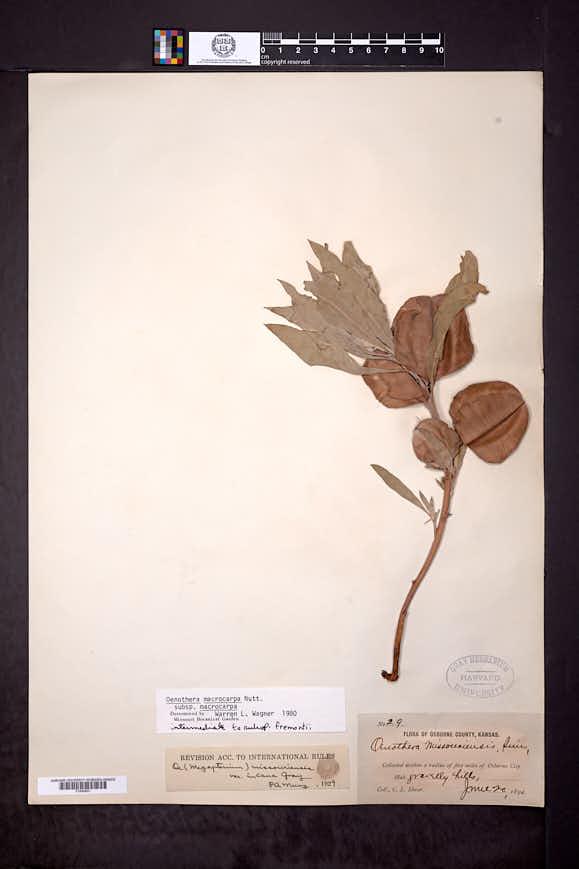 Oenothera macrocarpa image
