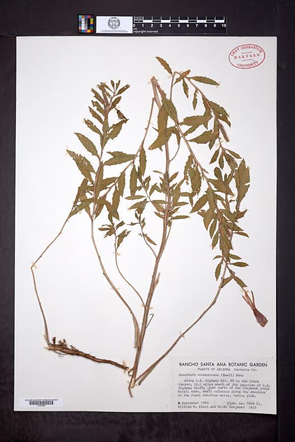 Oenothera neomexicana image