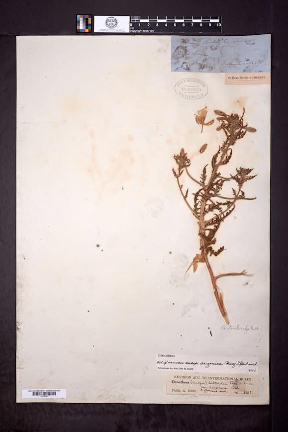 Oenothera californica image