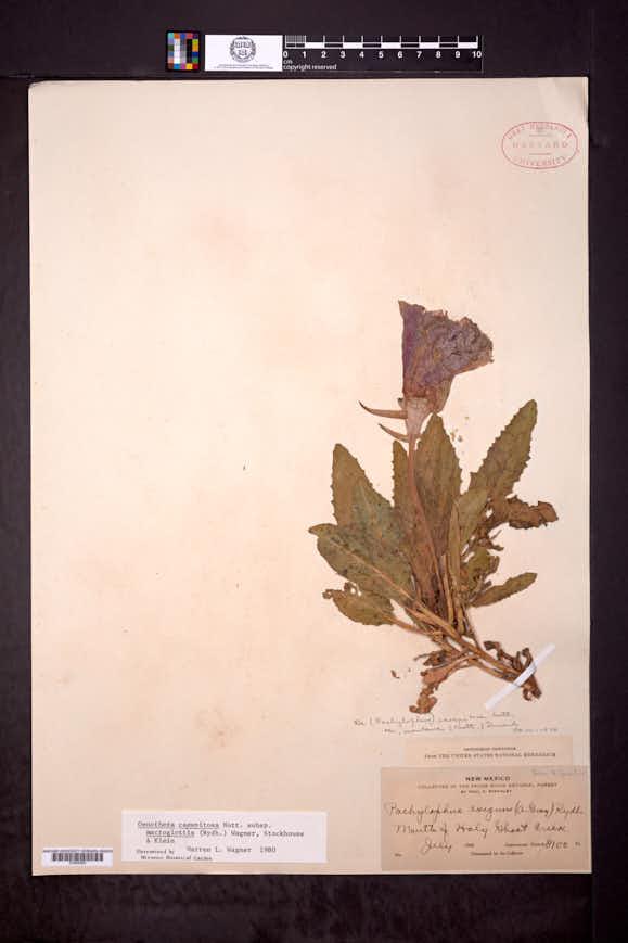 Oenothera cespitosa image