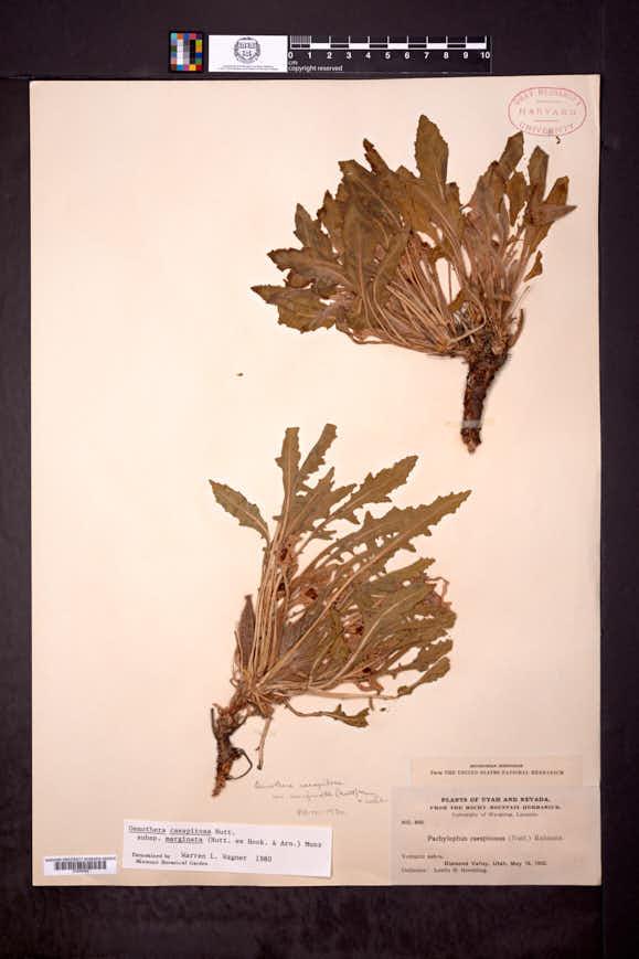 Oenothera cespitosa subsp. marginata image