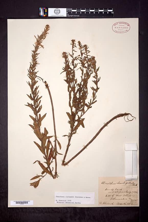 Oenothera clelandii image