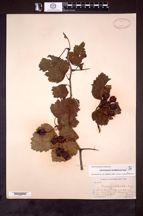 Crataegus submollis image