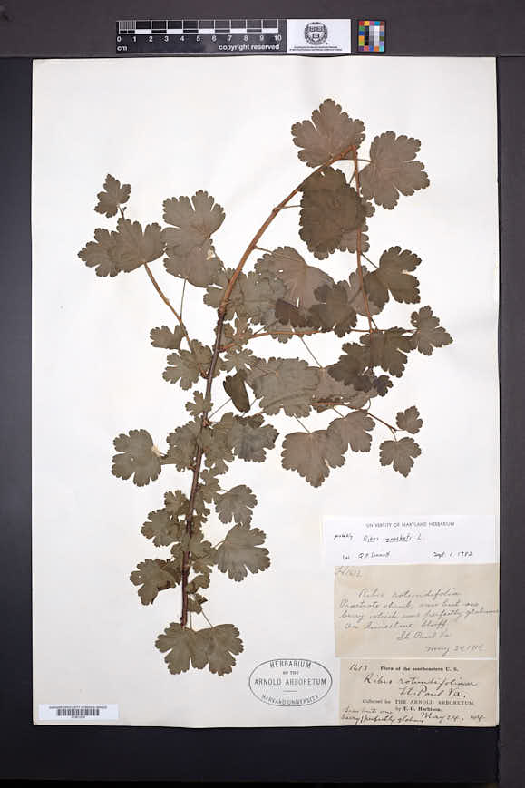 Ribes cynosbati image
