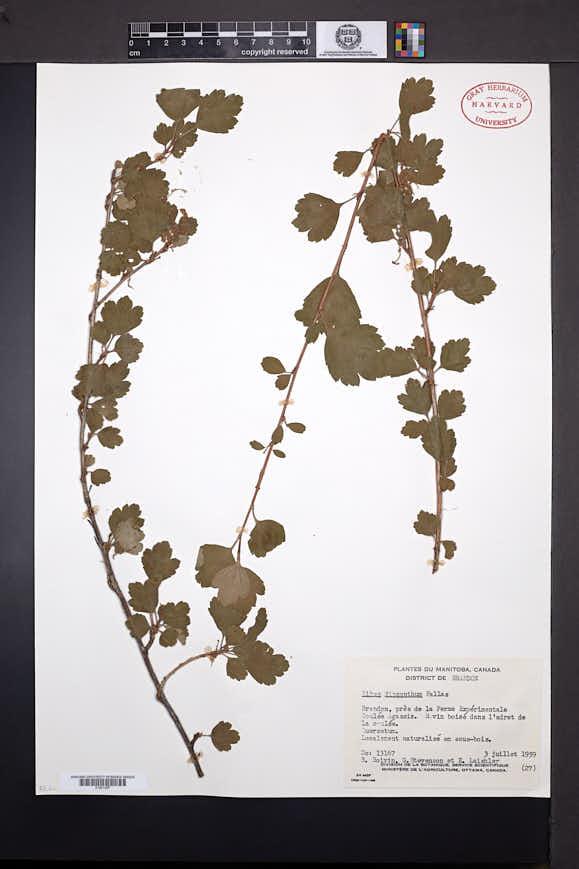 Ribes diacanthum image
