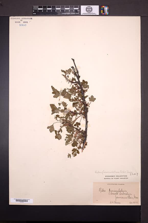 Ribes fasciculatum image