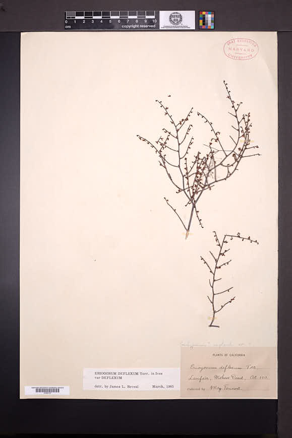 Eriogonum deflexum image