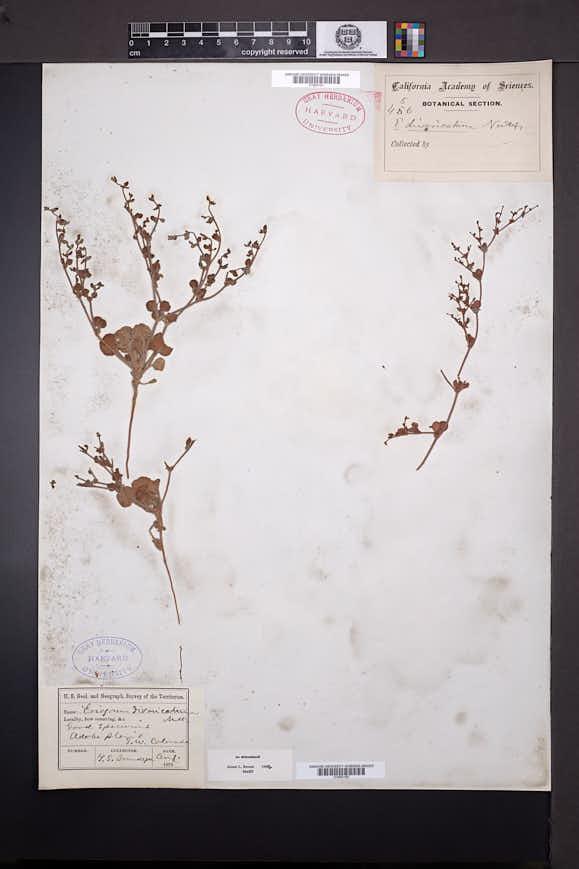 Eriogonum divaricatum image