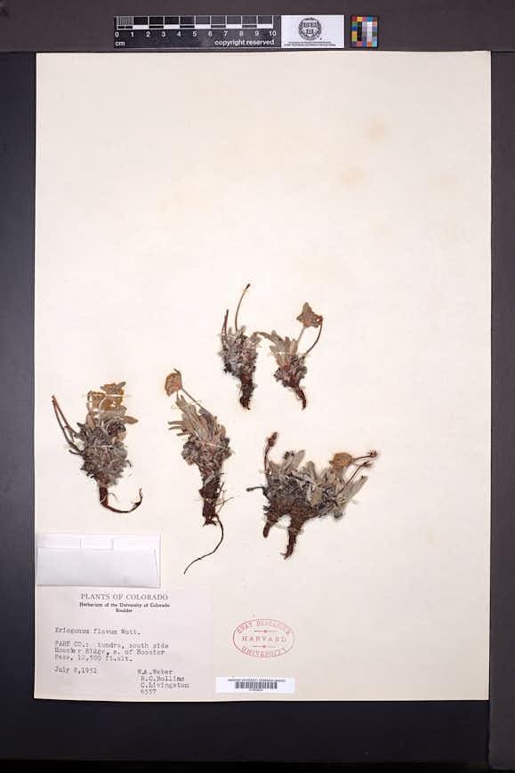 Eriogonum flavum image
