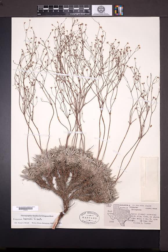 Eriogonum havardii image