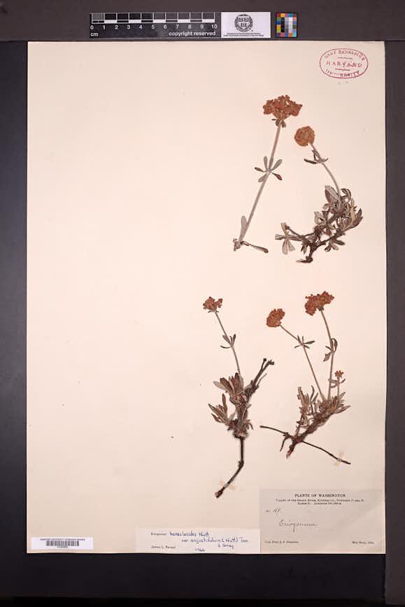 Eriogonum heracleoides image
