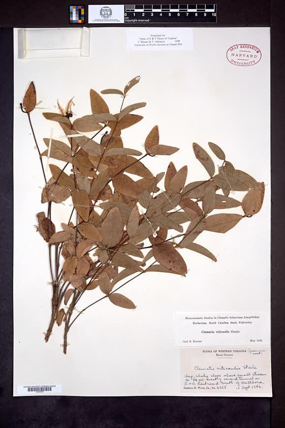 Clematis viticaulis image