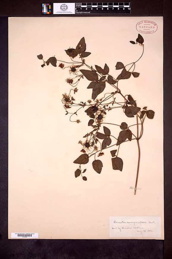 Image of Clematis campaniflora