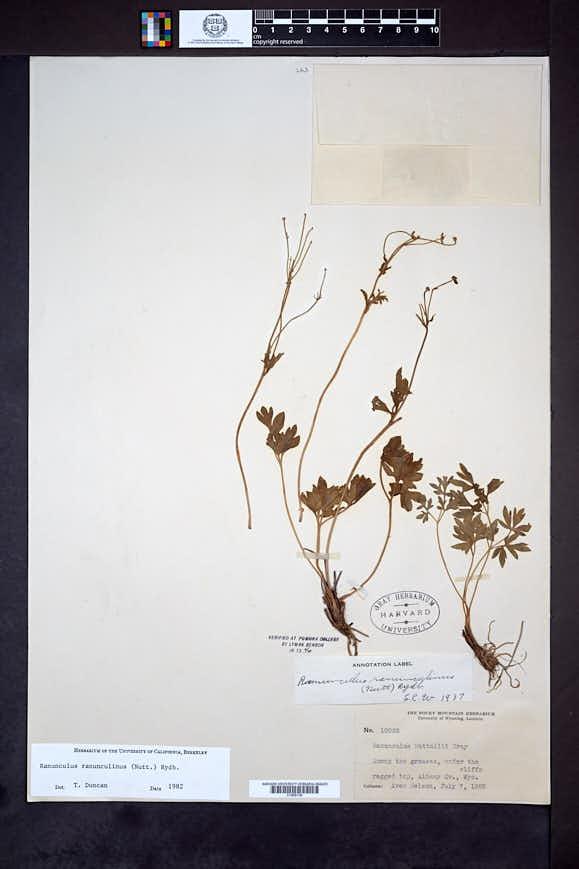 Ranunculus ranunculinus image